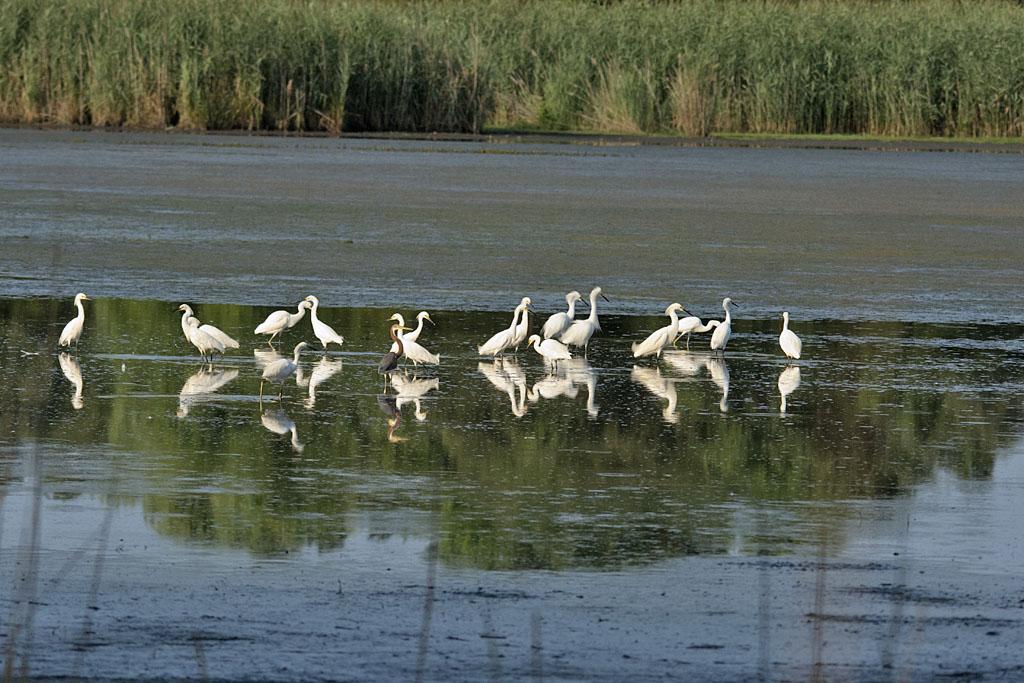 Egrets 1