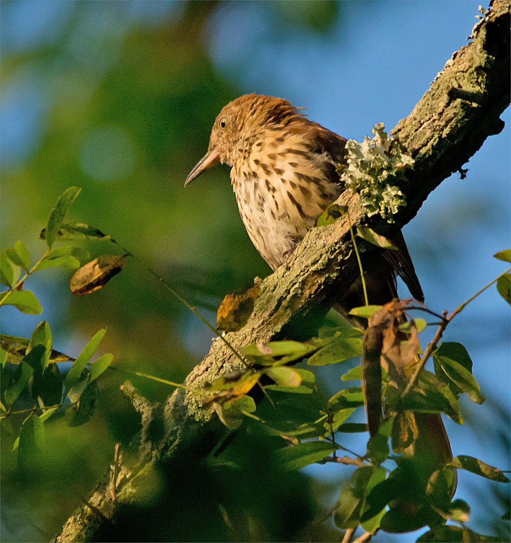 """Cornell: """"It can be tricky to glimpse a Brown Thrasher in a tangled mass of shrubbery, and once you do you may wonder how such a boldly patterned, gangly bird could stay so hidden. Brown Thrashers wear a somewhat severe expression thanks to their heavy, slightly downcurved bill and staring yellow eyes, and they are the only thrasher species east of Texas. Brown Thrashers are exuberant singers, with one of the largest repertoires of any North American songbird."""""""