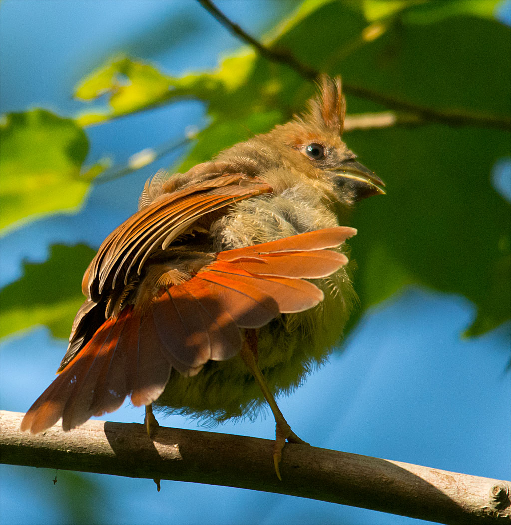 I photographed this Cardinal at an unusual angle.