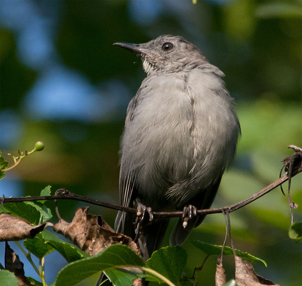 Lots of Catbirds, everywhere I looked.