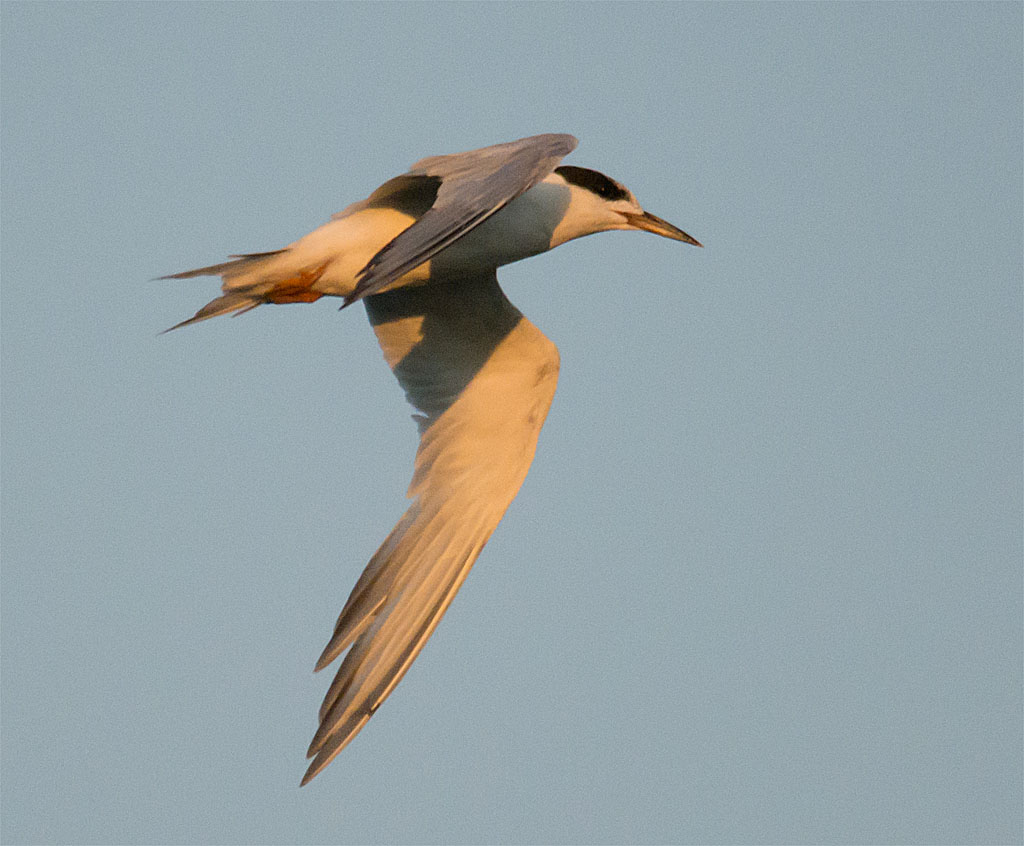 Common Tern 139