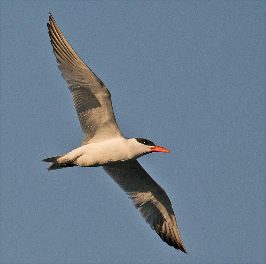 Common Tern 140
