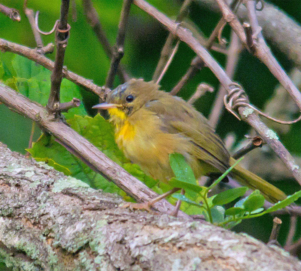 Common Yellowthroat 218