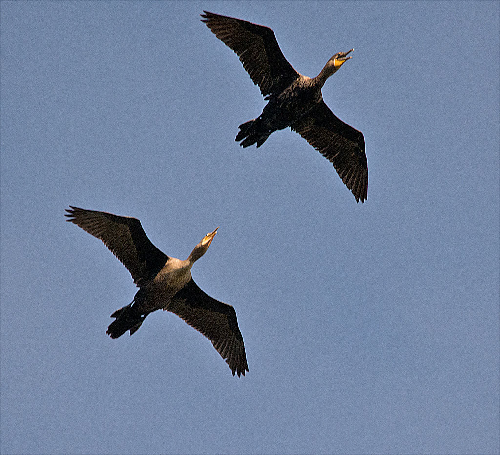 Double Crested Cormorant 114