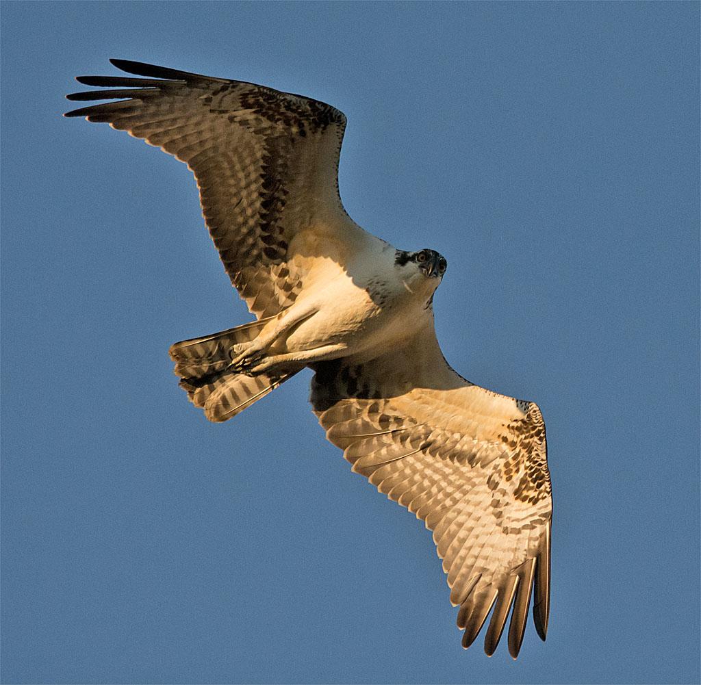 Osprey 364