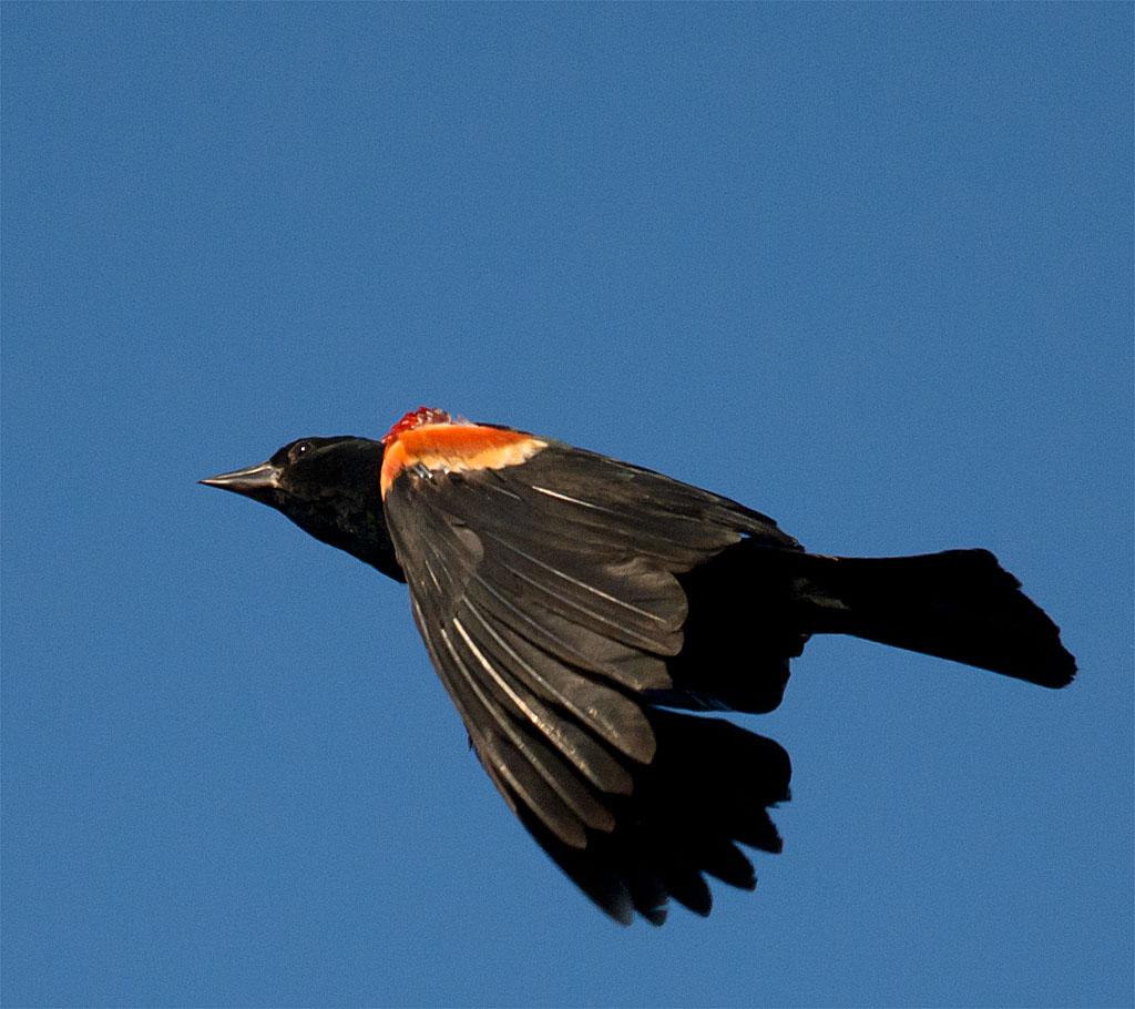 Red Winged Blackbird 117 - Copy