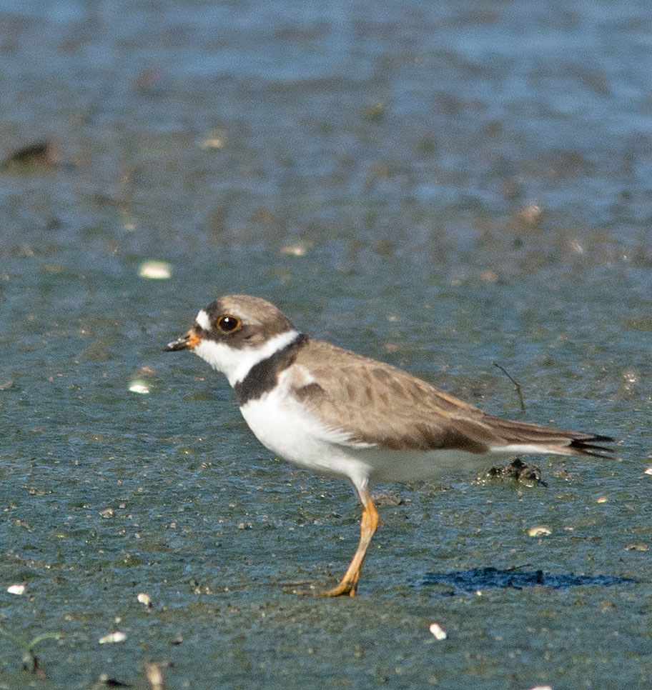 Semipalmated Plover 3