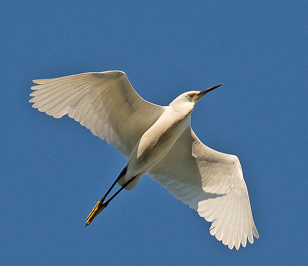 Snowy Egret 149