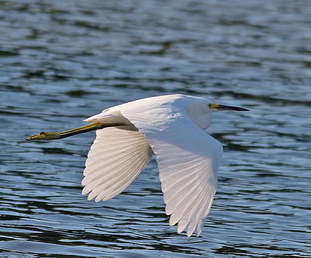 Snowy Egret 150