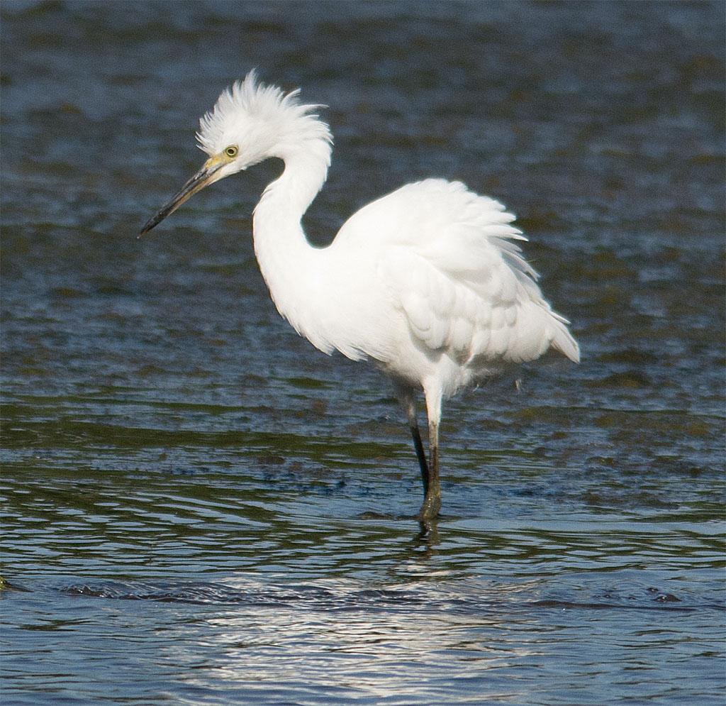 Snowy Egret 151