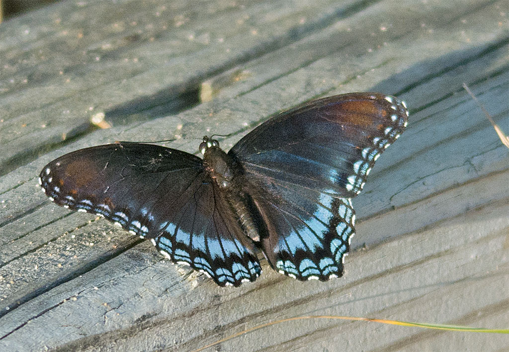 Spicebush Swallowtail 17