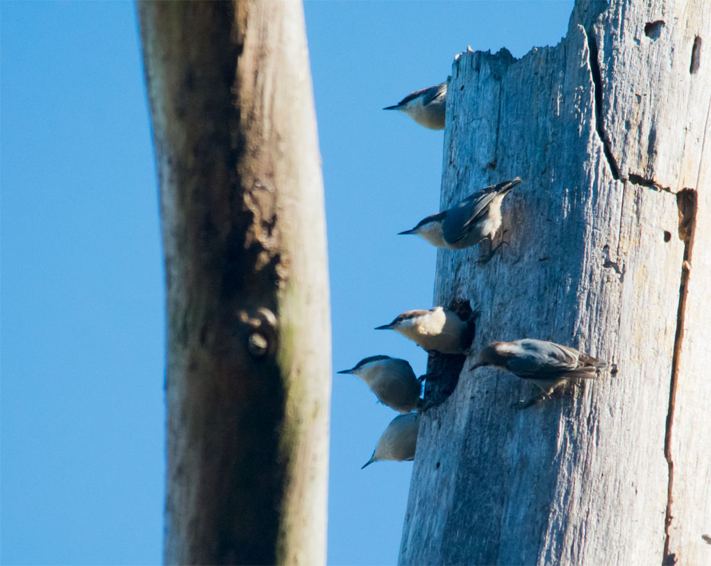 Brown Headed Nuthatch 18
