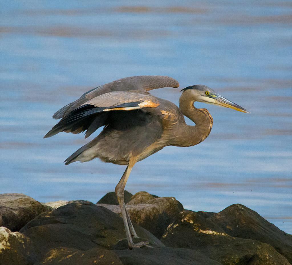 Great Blue Heron 363