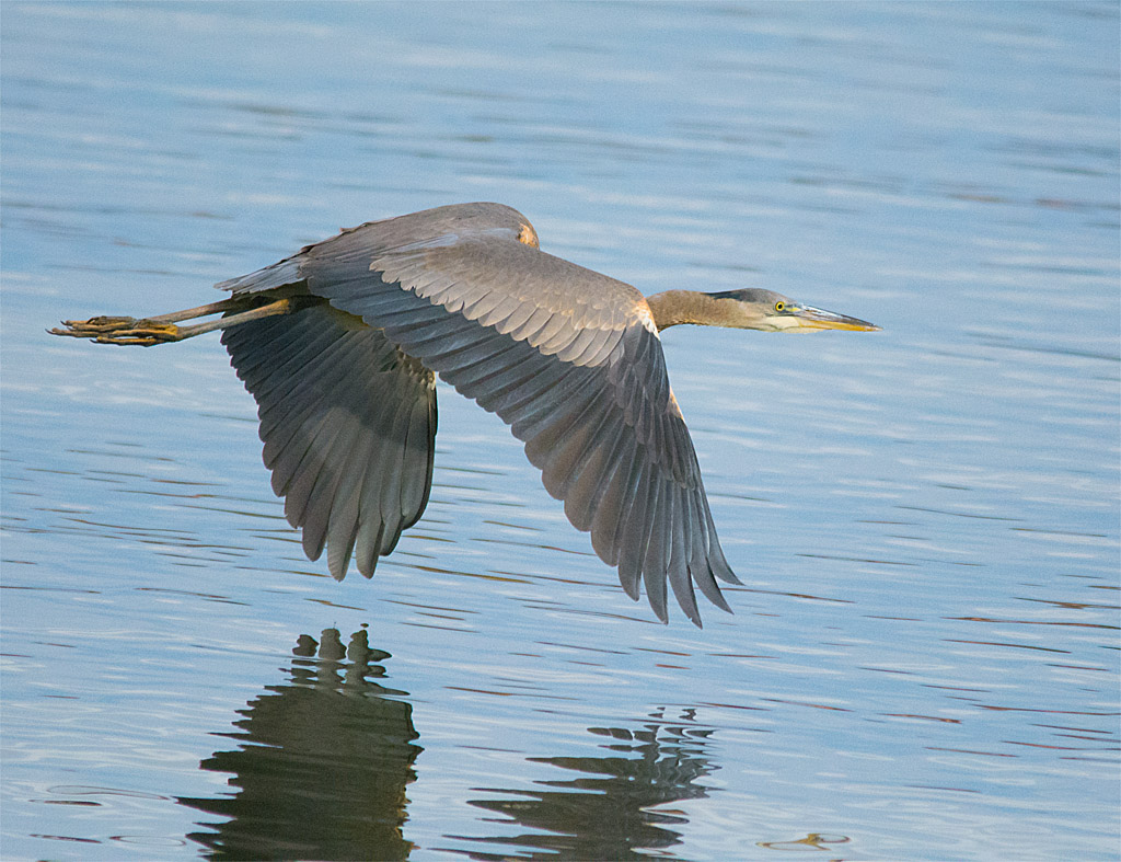 Great Blue Heron 364