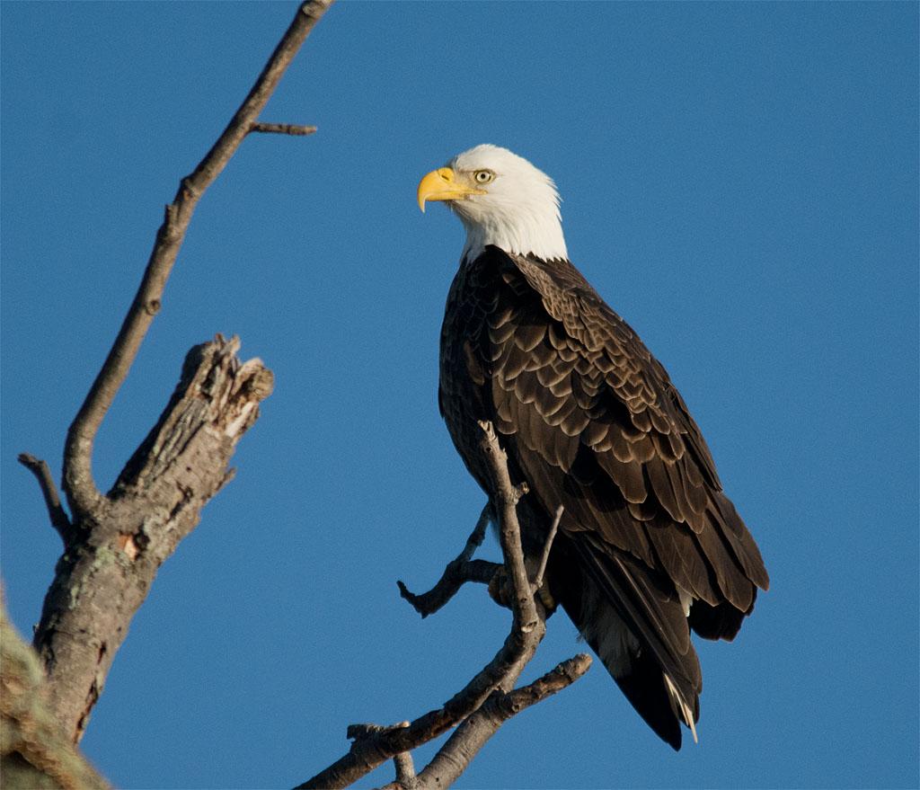 Bald Eagle 2016-8