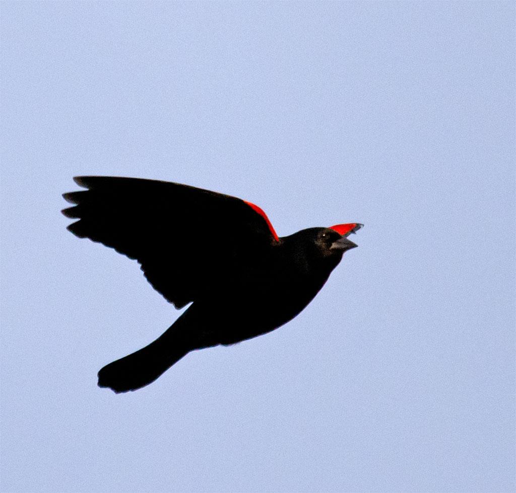 Red Winged Blackbird 2016-1