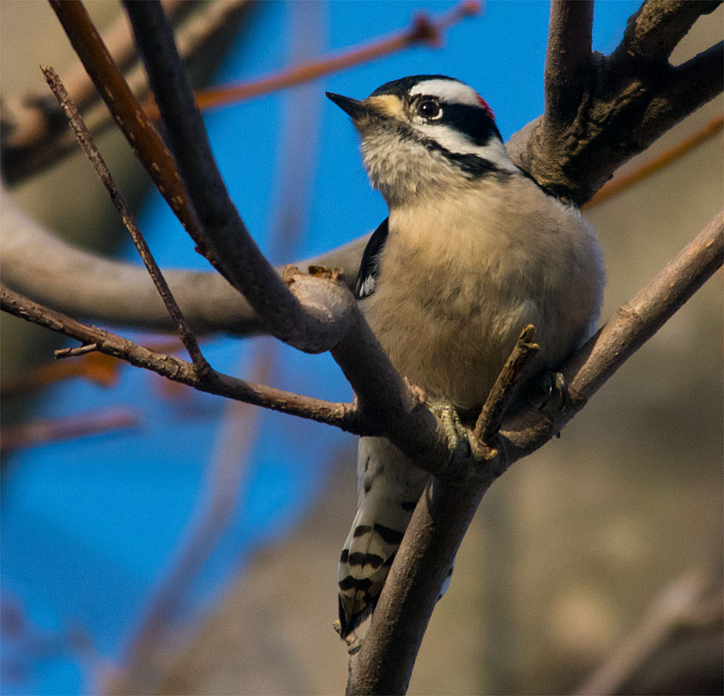 Downy Woodpecker 2016-3