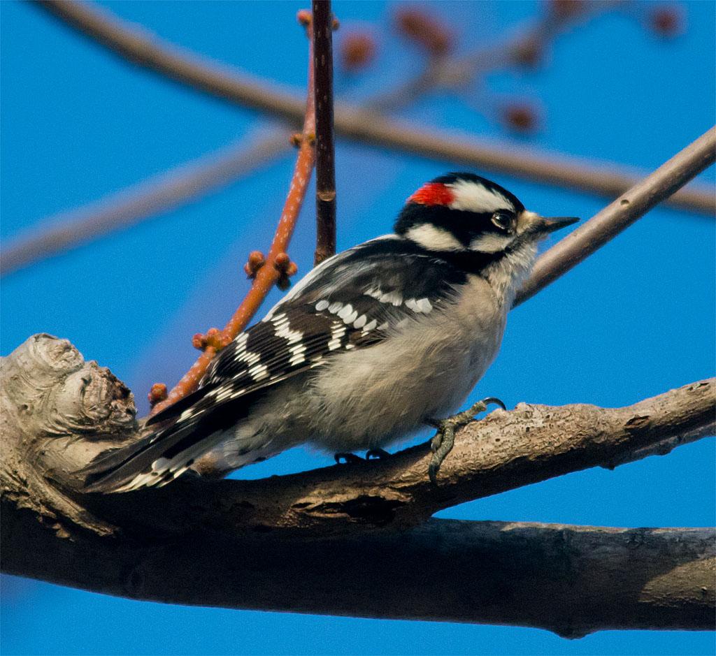 Downy Woodpecker 2016-4