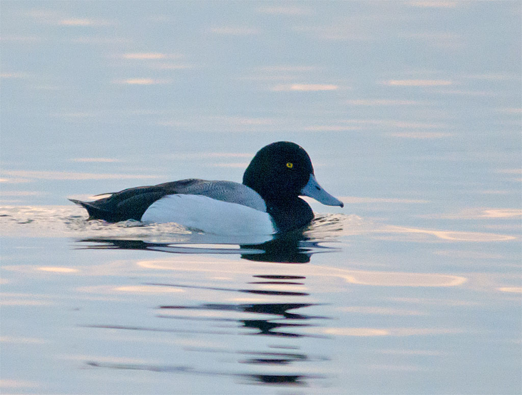 Greater Scaup 2016-1