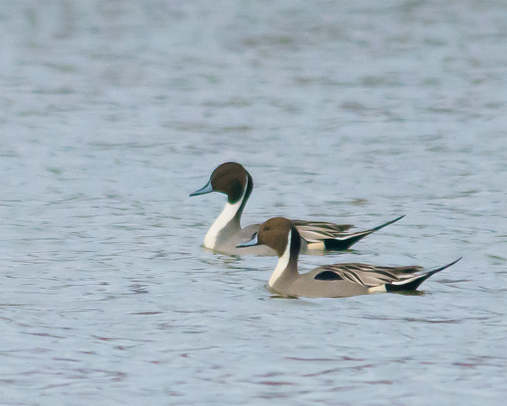 Northern Pintail 2016-2