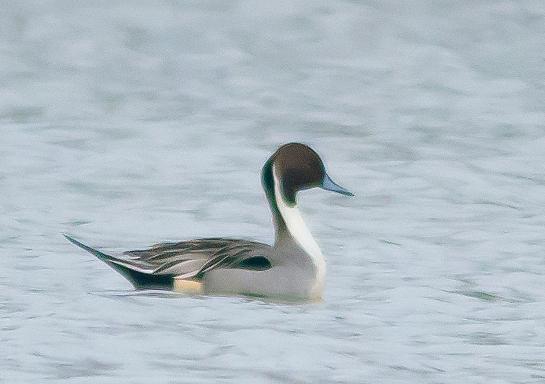 Northern Pintail 2016-3