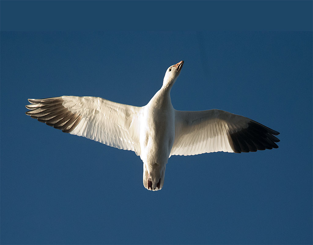 Snow Goose 2016-5