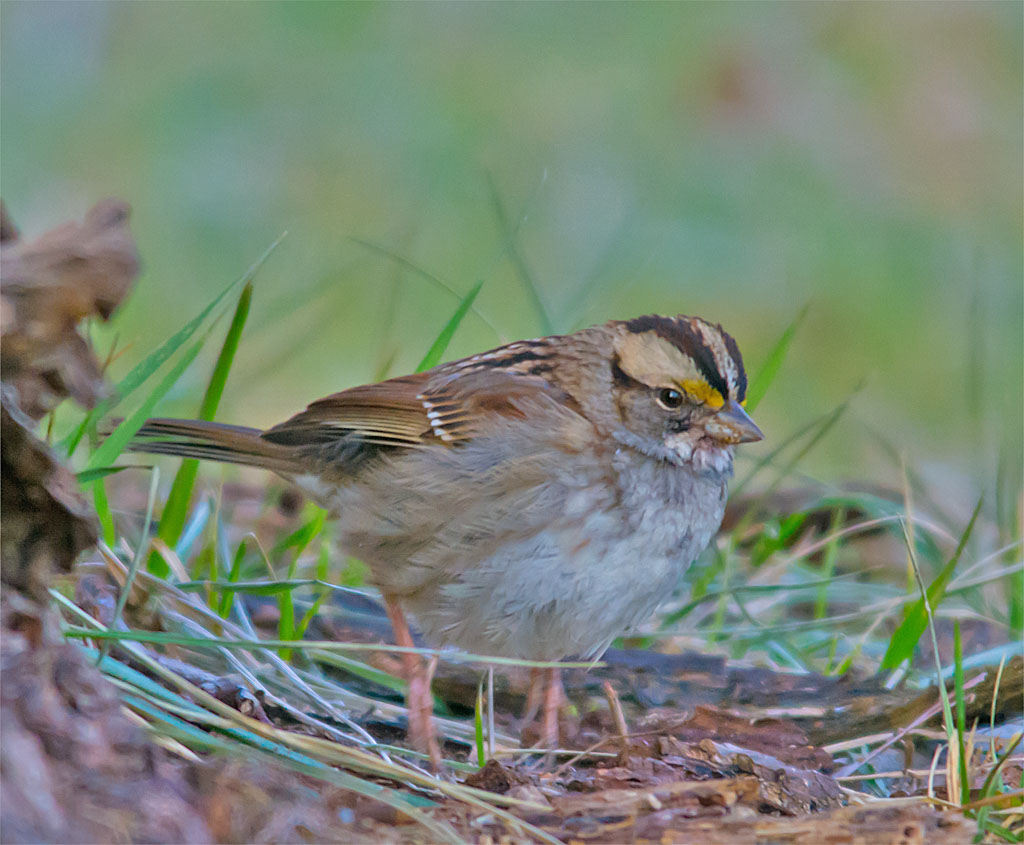 White Throated Sparrow 2016-4