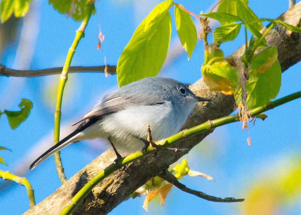 Blue Gray Gnatcatcher 2016-1
