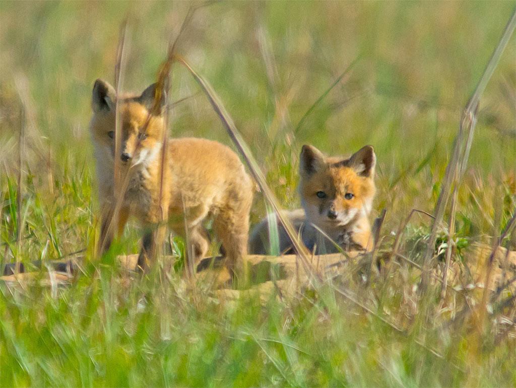 Fox 38