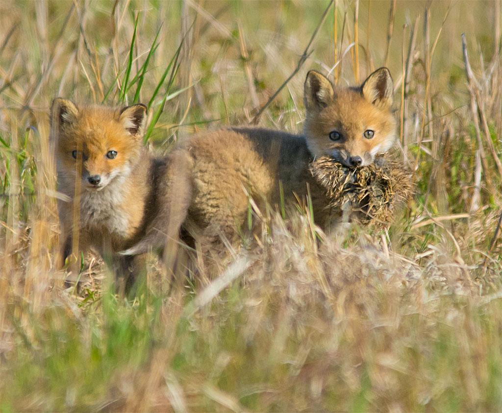 Fox 41