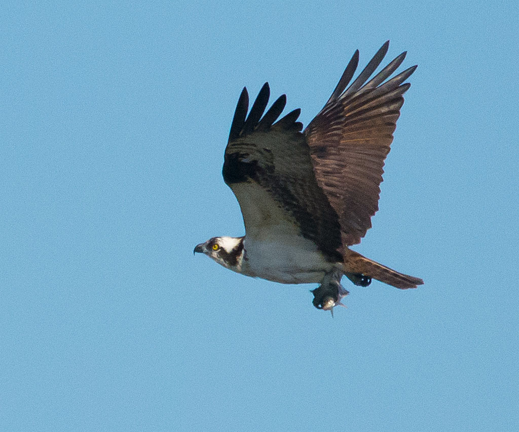 Osprey 2016-36