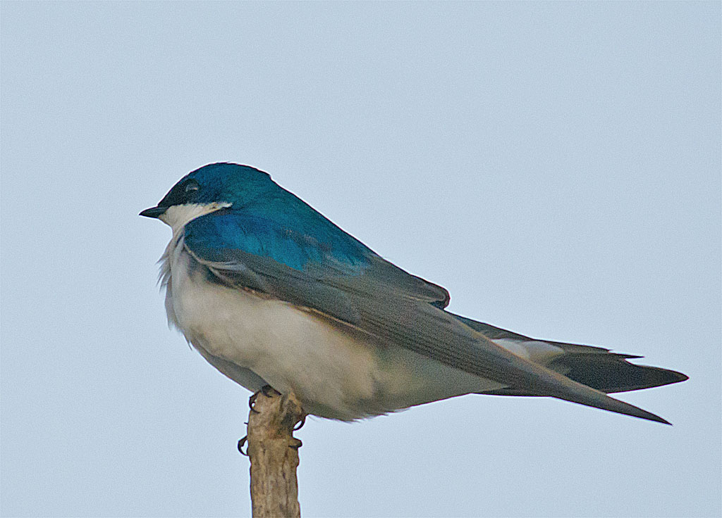 Tree Swallow 2016-30