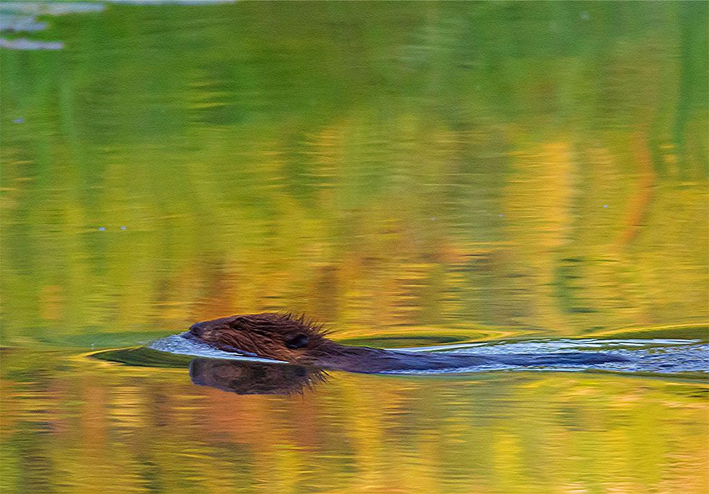 Beaver 105