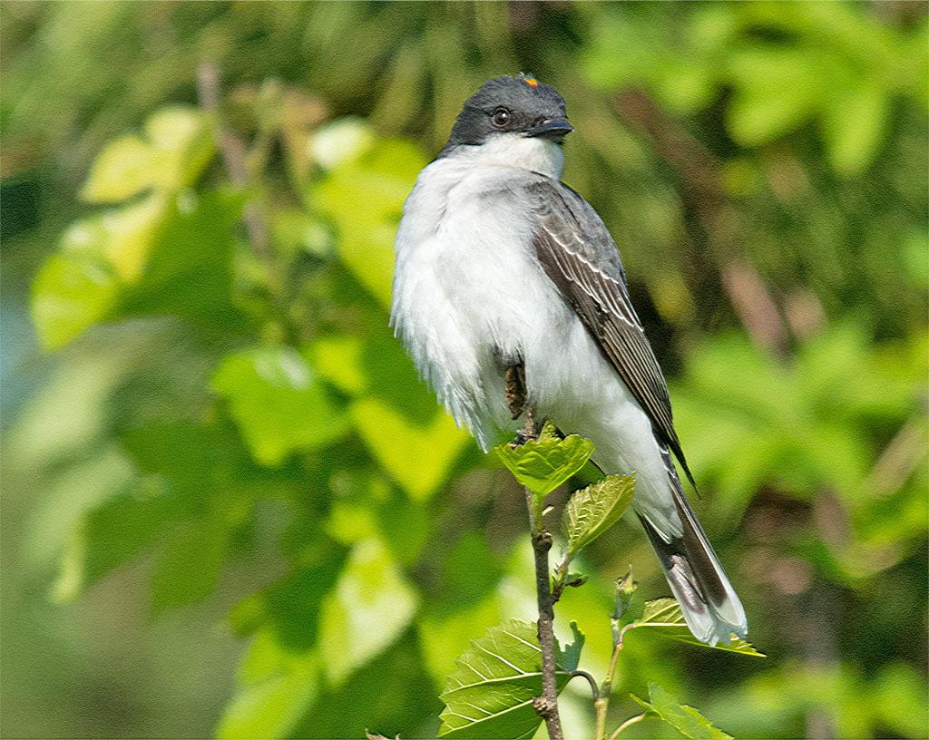 Eastern Kingbird 2016-10