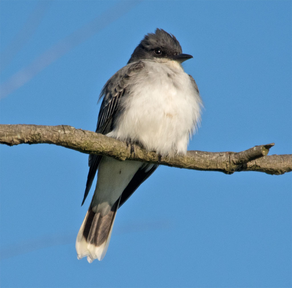 Eastern Kingbird 2016-12