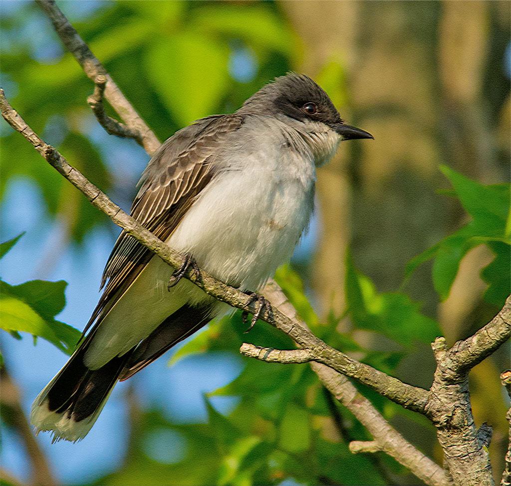 Eastern Kingbird 2016-9