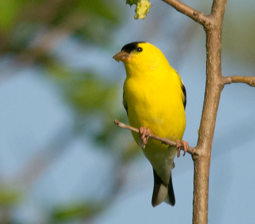 Goldfinch 2106-3