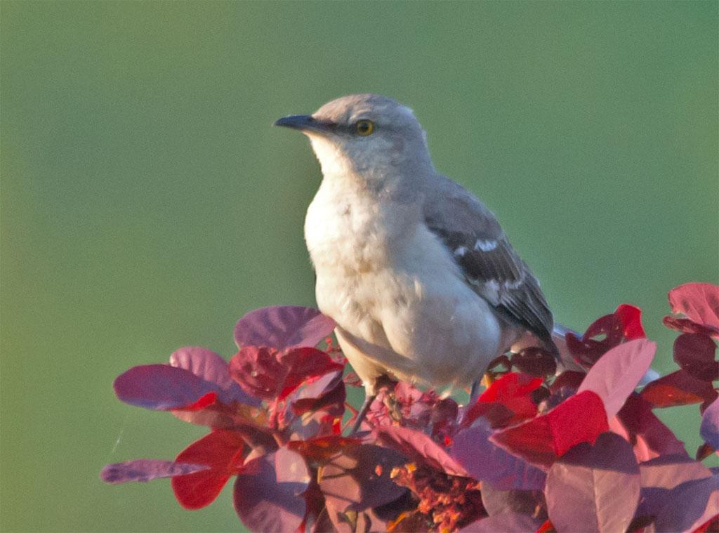 Mockingbird 2016-5