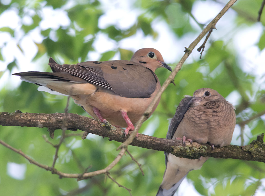 Mourning Dove 2016-5