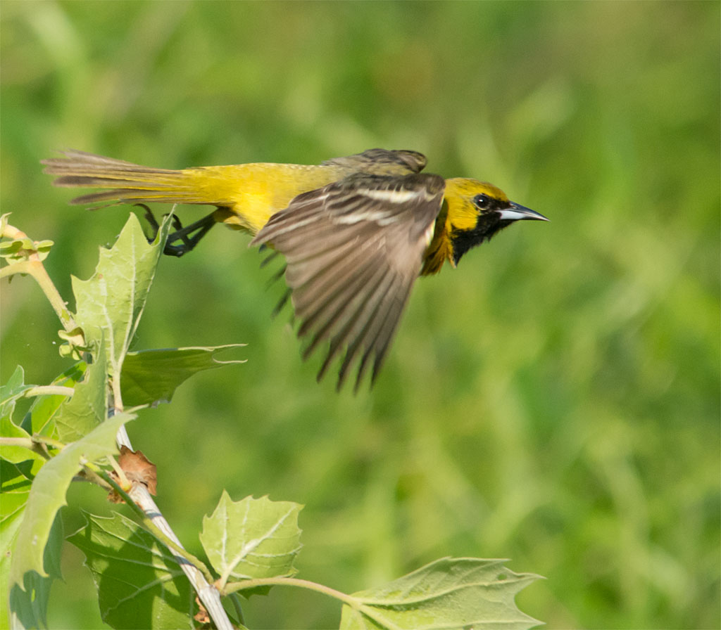 Orchard Oriole 2016-10