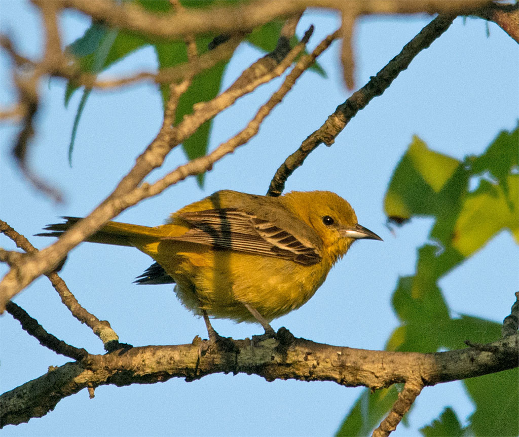 Orchard Oriole 2016-2