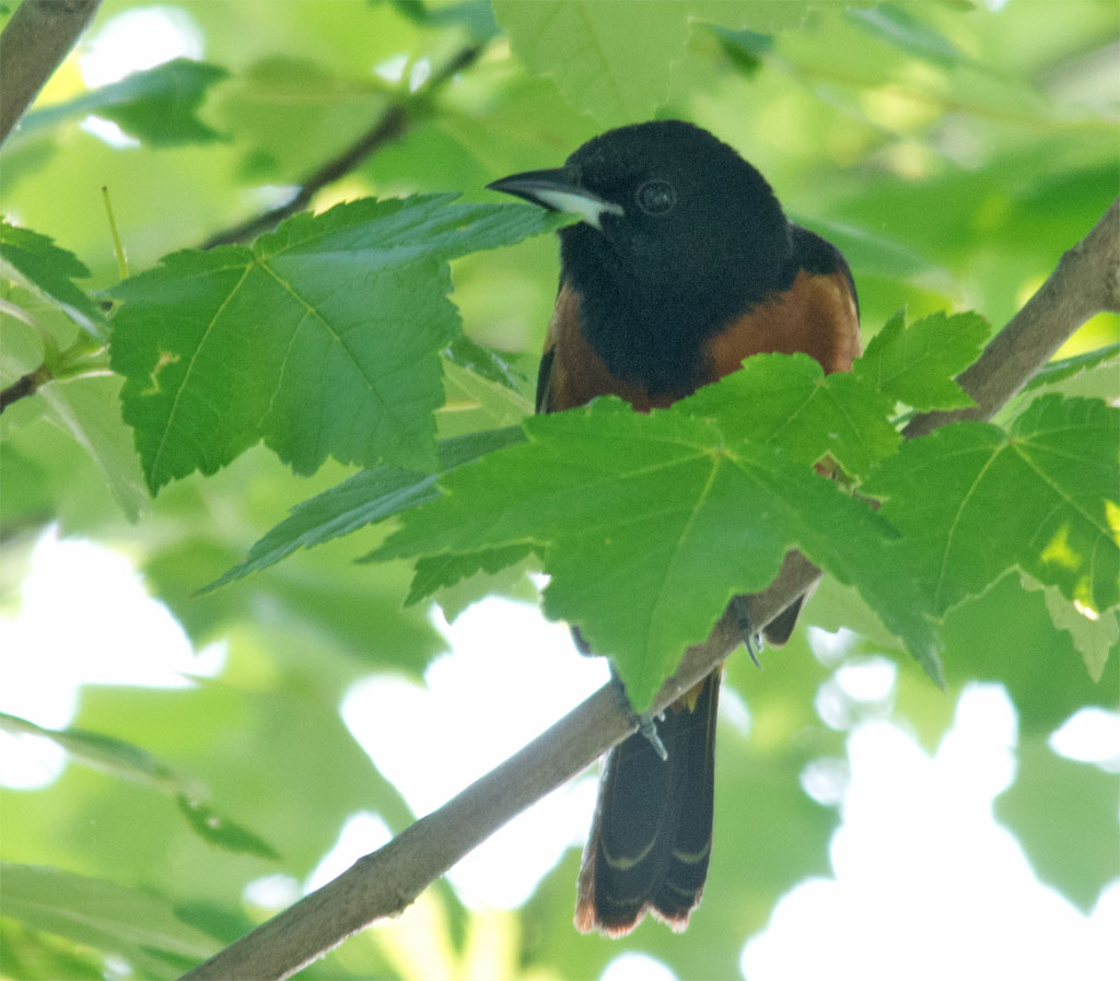 Orchard Oriole 2016-4