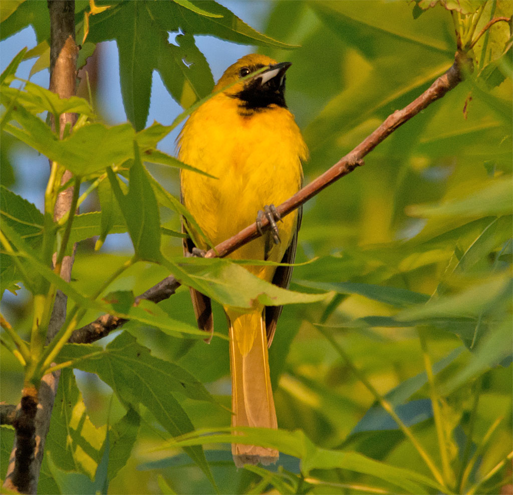 Orchard Oriole 2016-6