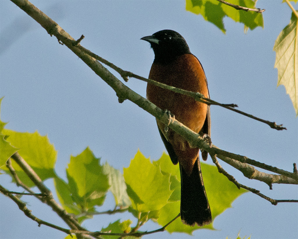 Orchard Oriole 2016-8