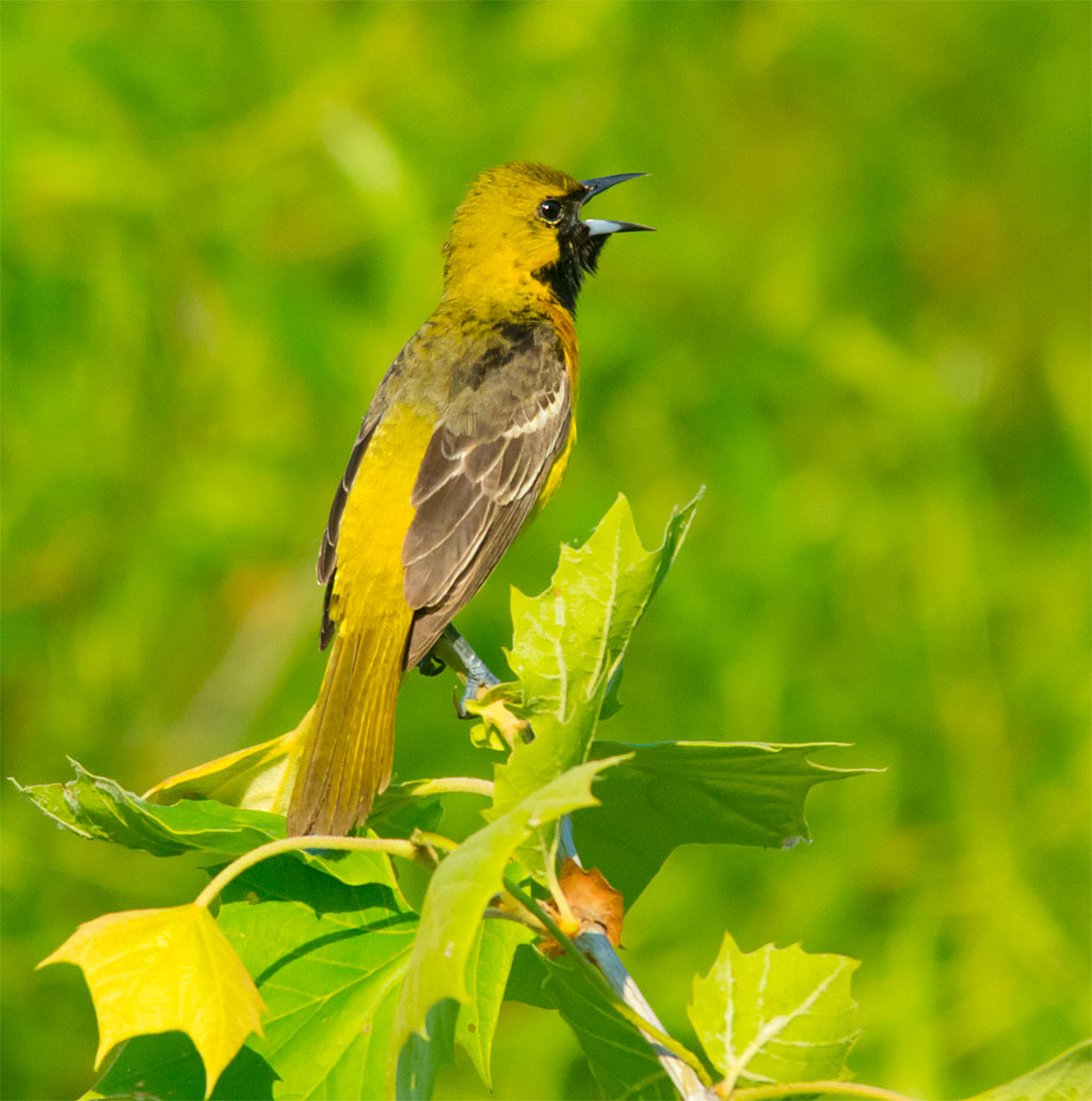 Orchard Oriole 2016-9