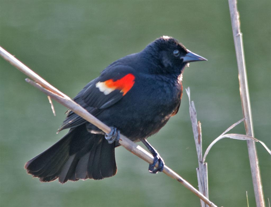 Red Winged Blackbird 2016-21