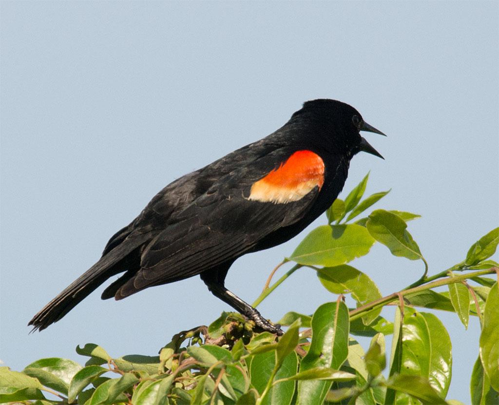 Red Winged Blackbird 2016-27