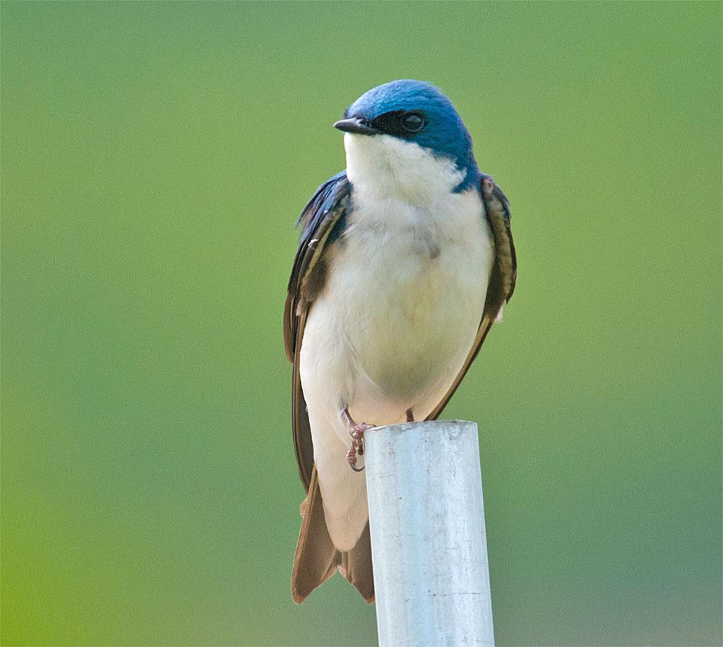 Tree Swallow 2016-47