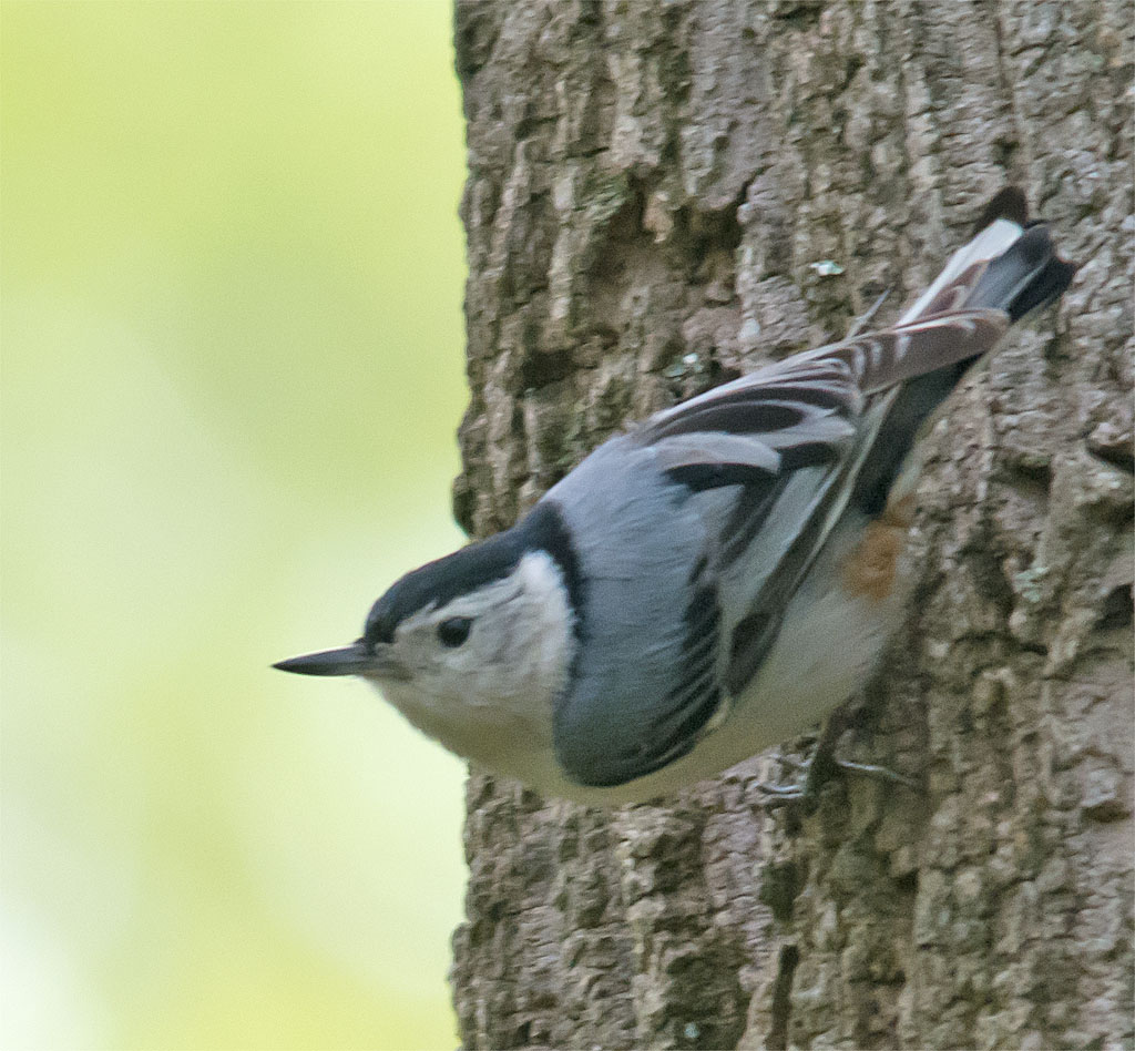 White Breasted Nuthatch 2016-2