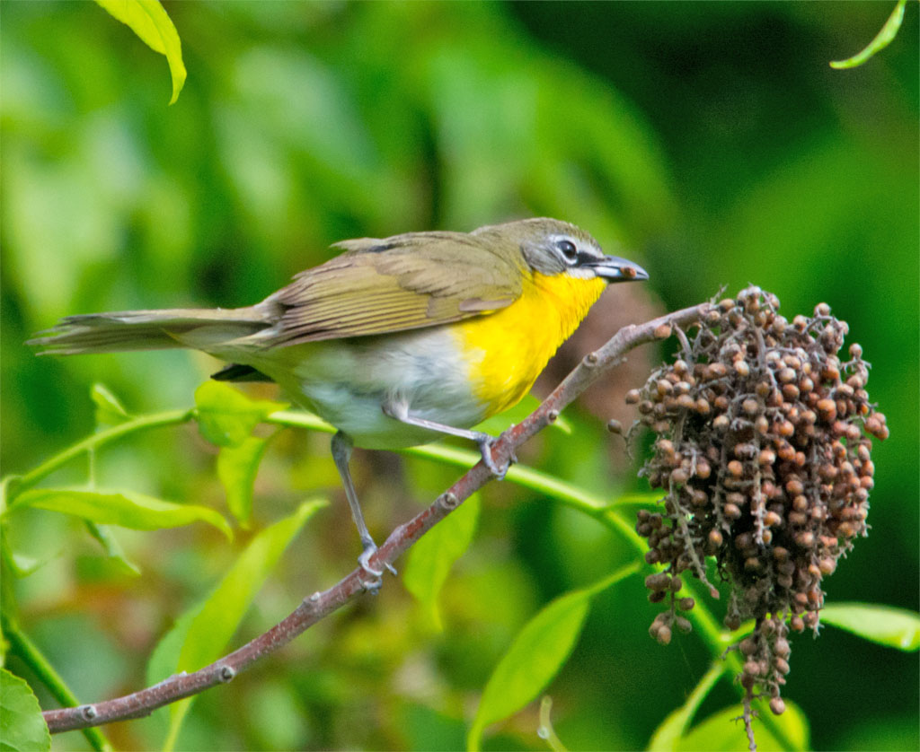 Yellow Breasted Chat 2016-1